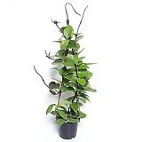 호야 호야꽃 행잉플랜트 공기정화식물|Hoya carnosa