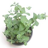 유칼립투스 유칼립투스화분 공기정화식물|