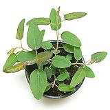 유칼립투스 레몬검 폴리안 블랙잭 유칼립투스화분 공기정화식물 관엽식물|