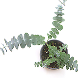 유칼립투스 블랙잭 유칼립투스화분 공기정화식물|