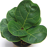 떡갈나무 떡갈고무나무 실내공기정화식물 관엽식물 실내화초 실내식물|Ficus elastica