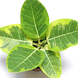 뱅갈고무나무 실내공기정화식물 관엽식물 실내화초 실내식물|Ficus elastica