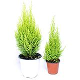 율마 공기정화식물 실내공기정화식물 관엽식물 거실화분|