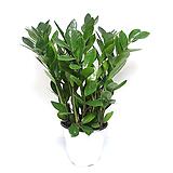 금전수 실내공기정화식물 관엽식물 실내화초 실내식물 거실화분 인테리어식물