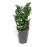 보석금전수 돈나무 금전수 실내공기정화식물 관엽식물 실내화초 실내식물 거실화분|Zamioculcas zamiifolia