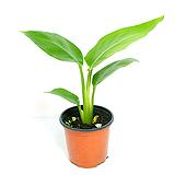 극락조 여인초 실내공기정화식물 실내관엽식물 실내화초 실내식물 거실화분 인테리어식물|