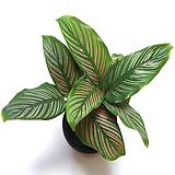 칼라데아진저 진자마란다 실내공기정화식물 관엽식물