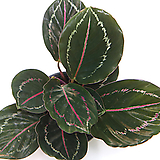 칼라데아 로제오픽타 로세오픽타 실내공기정화식물 관엽식물 실내화초