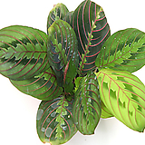칼라데아 레우코네우라 개구리 마란타 실내공기정화식물 관엽식물 실내화초