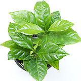커피나무 실내공기정화식물 관엽식물 실내화초 실내식물 거실화분 인테리어식물|