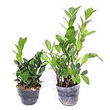 금전수 실내공기정화식물 관엽식물 실내화초 실내식물 거실화분 인테리어식물 Zamioculcas zamiifolia