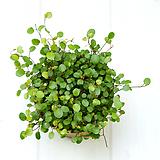 트리안 공기정화식물 수경재배식물|Muehlenbekia complexa