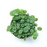 워터코인 공기정화식물 수경재배식물 수경식물 수생식물
