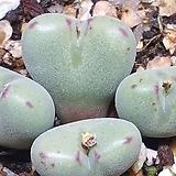 Conophytum chauviniae (차우비니에)|