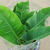 필로덴드론 콩고/공기정화식물/55-60cm 