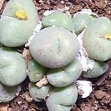 Conophytum hians(히안스)|