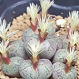 conophytum sspm 9두|