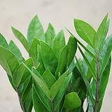 금전수/공기정화식물30-35cm Zamioculcas zamiifolia