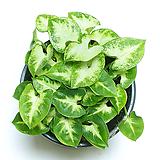 싱고니움 싱고늄 공기정화식물 실내공기정화식물|