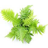 실버레이디 고사리 공기정화식물 실내공기정화식물 관엽식물 실내화초 실내식물|