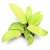 덴드롱 실내공기정화식물 실내화초 거실화분 형광 필로덴드론 댄드롱|