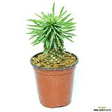괴마옥 파인애플선인장 다육식물 선인장 Euphorbia hypogaea