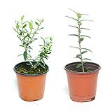 올리브나무 실내공기정화식물 관엽식물 실내화초 실내식물|