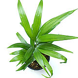 아레카야자 공기정화식물 실내공기정화식물|