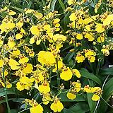 ().댄싱걸.노란색.随机.꽃피었던상품.1개..