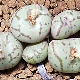 C.wittebergense ssp(위트버젠스)|Conophytum Wittebergense