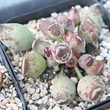 인디안곤봉 랜덤발송 Adromischus cristatus indian clubs