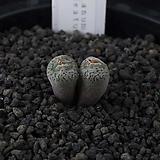 XP3205-C.swanepoelianum ssp. rubrolineatum CR.1403 스와네폴리아눔 루브로니에아튬2두 