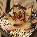 멕시코 야생마리아|Echeveria agavoides Maria