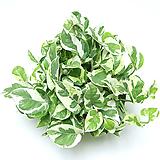 엔조이 스킨답서스 공기정화식물 실내공기정화식물 관엽식물 실내화초 실내식물|