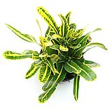 크로톤 실내공기정화식물 거실화분 인테리어식물 실내화초 Codiaeum Variegatum Blume Var Hookerianum