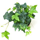 청아이비 실내공기정화식물 실내관엽식물 실내화초 실내식물