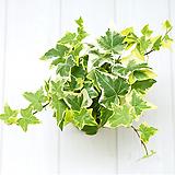 골드아이비 실내공기정화식물 실내관엽식물 실내화초 실내식물|Heder helix