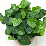 하트아이비 실내공기정화식물 실내관엽식물 실내화초 실내식물|Heder helix