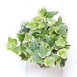 에스터 아이비 실내공기정화식물 실내관엽식물 실내화초 실내식물|Heder helix