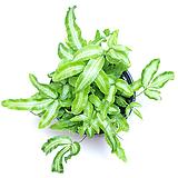 푸테리스 고사리 공기정화식물 