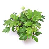 시서스 아이비 실내공기정화식물 실내관엽식물 실내화초 실내식물|Heder helix