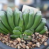 그린옥선30|Haworthia truncata