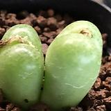 헤르마리움 코노피튬|Conophytum