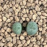 말로티(Augrabies)29수입컷팅 코노피튬|