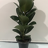 인도고무나무/공기정화식물/미세먼지 제거