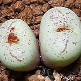 Conophytum ficiforme ssp(피시포르미)|