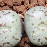 C. wittbergense ssp(위트버젠스)|Conophytum Wittebergense