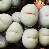 conophytum  pagaea 파가에(72두한몸) 