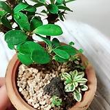 미니 꽃기린 묵은주와 바위장대 미니조경세트(작고 귀여운 식물이 살아요)|