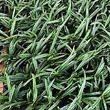 소엽풍난 란 동양난 풍난 석부작 목부작|